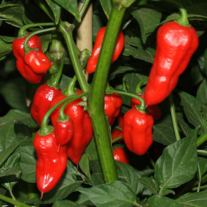 Chiles Naga Jolokia Improved Strain