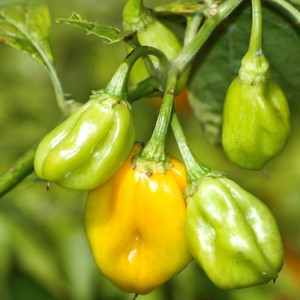 Chiles Burkina Amarillo