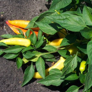 Chiles banana supreme