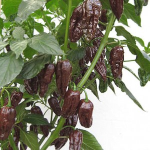 Chiles naga jolokia chocolate