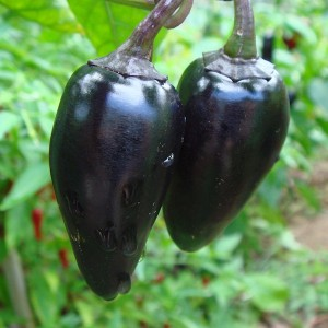 Chiles black hungarian