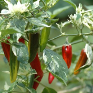 Chiles Fish Pepper