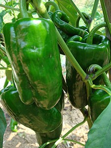 Chiles Ancho San Luis