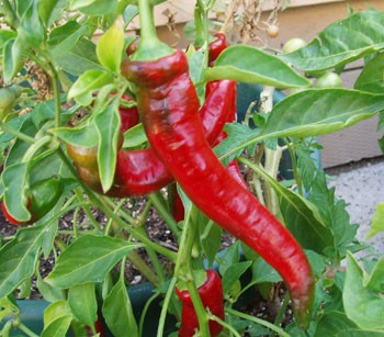Chiles jimmy nardello