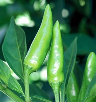 Chiles sport pepper