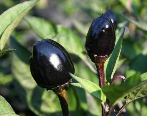 Chiles Black Olive