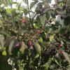 Chiles Cheiro Roxa en planta