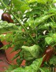 Chile lengue del diablo chocolate en planta