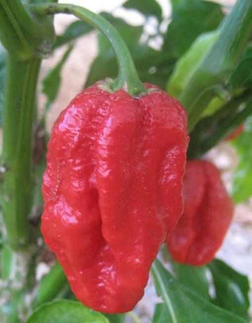 Chile 7 pod en su planta