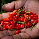 Chiles African Birds Eye