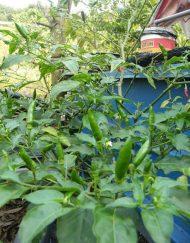 Planta de cabai verde