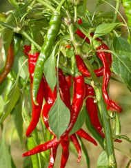 Chiles Cayena Long Slim