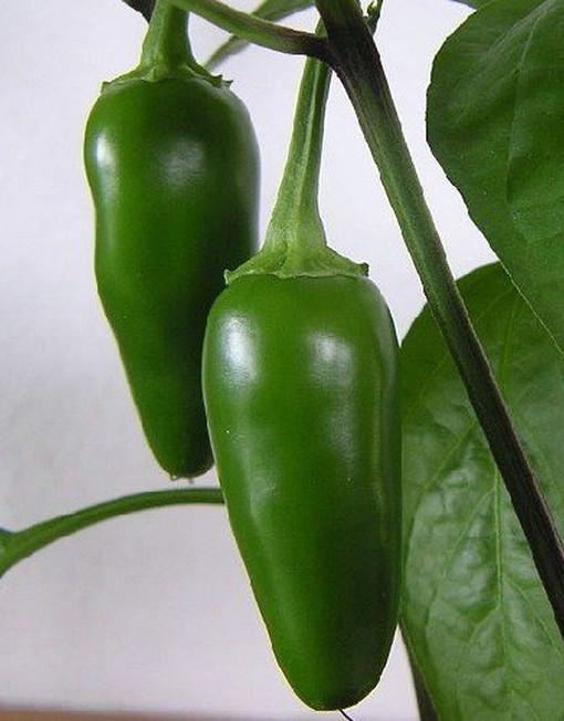 Chiles Jalapeño en su planta