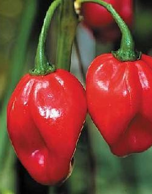 Chile Scotch Bonnet Rojo