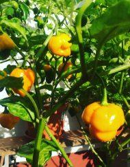 Trinidad Escorpión Naranja