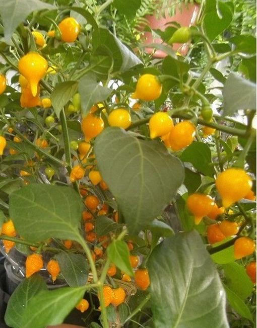 Semillas Biquinho Amarillo