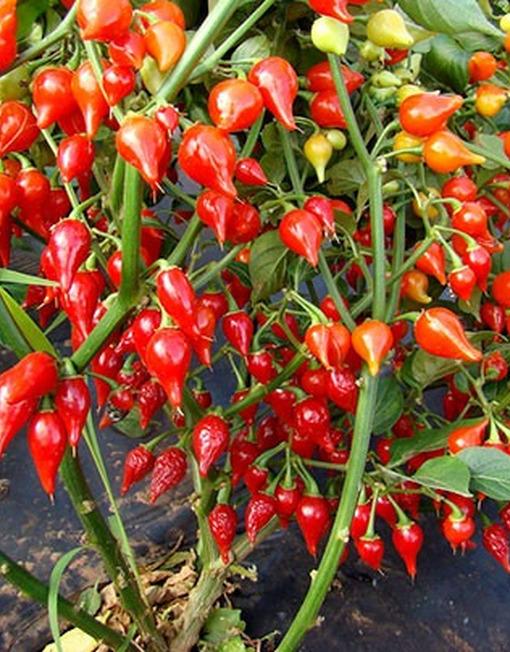 Planta de Biquinho Rojo
