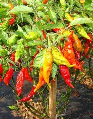 Planta de Murupi de las Amazonas
