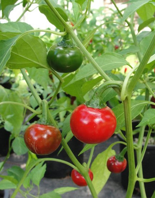 Planta de chile cascabel