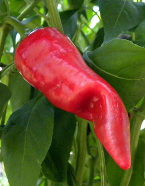 Semillas Chilhuacle Rojo