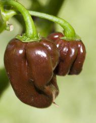Planta de Habanero Chocolate