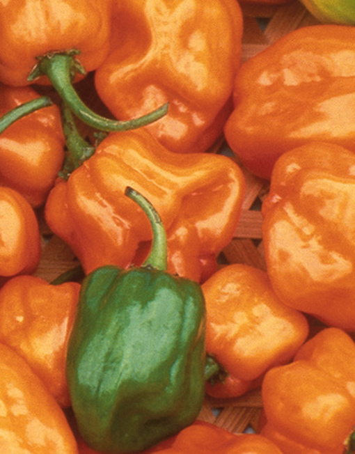 Semillas Habanero Naranja