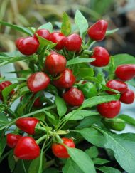 Semillas Hot Cherry