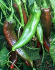 Planta de chile Joe E Parker