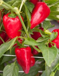 Planta de chile Lipstick