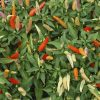 Planta de chiles tabasco