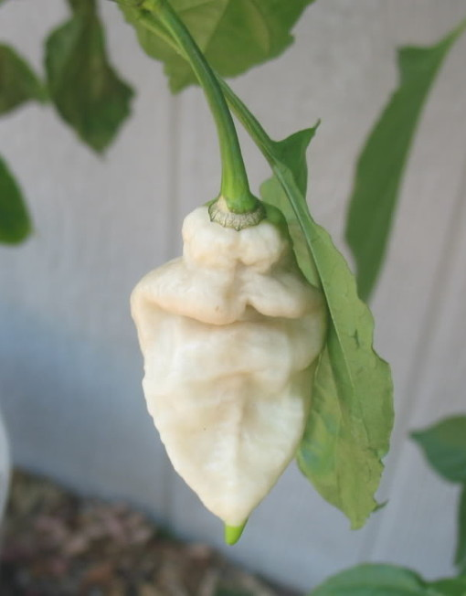 Chiles Naga Jolokia Blanco