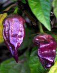 Chiles Naga Jolokia Violeta