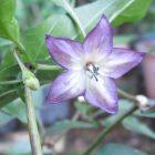 Flor Naga Jolokia Violeta