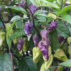 Chiles Naga Jolokia Violeta en planta