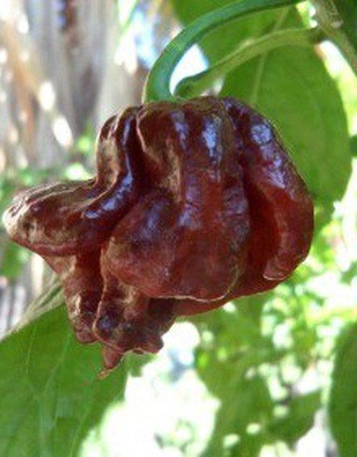 Trinidad Scorpion Chocolate en la planta