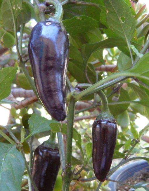 Jalapeño Violeta en la planta
