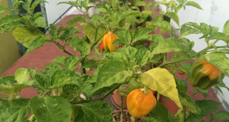 planta del picante madame jeanette amarillo