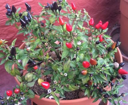 planta de picantes negros y rojos