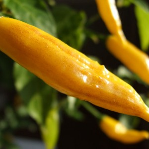 Chiles Aji Limon