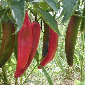 Chiles Chile California