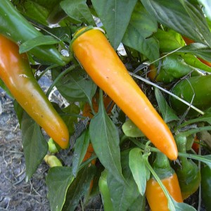 Chiles Bulgarian Carrot
