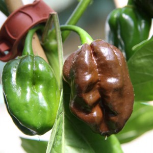 Chiles Habanero Chocolate