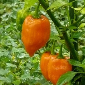 Chiles Boabs Bonnet