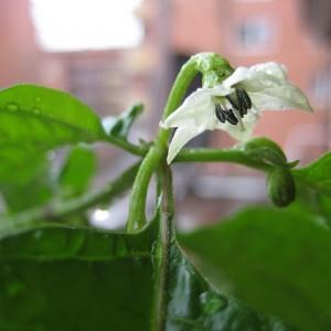 Flor del chile 7-Pod