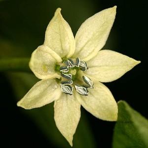 Flor del chile Bonda Ma Jaques