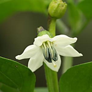 Flor del chile Cabai Rawit