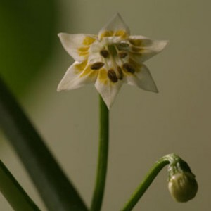 Flor del chile Chinchi Uchu