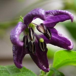 Flor del chile Cili Goronong
