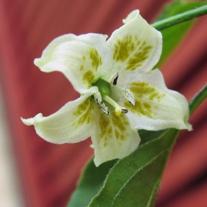 Flor del chile Criolla Sella