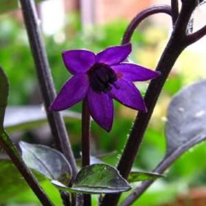 Flor del chile Explosive Ember